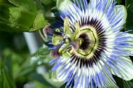 Hardy,Fragrant Passion Flower Blue- 10 seeds
